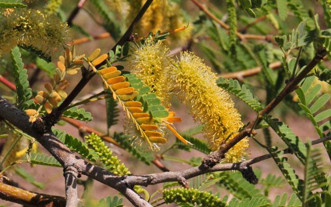 Prosopis Juliflora Var Torreyana Western Honey Mesquite