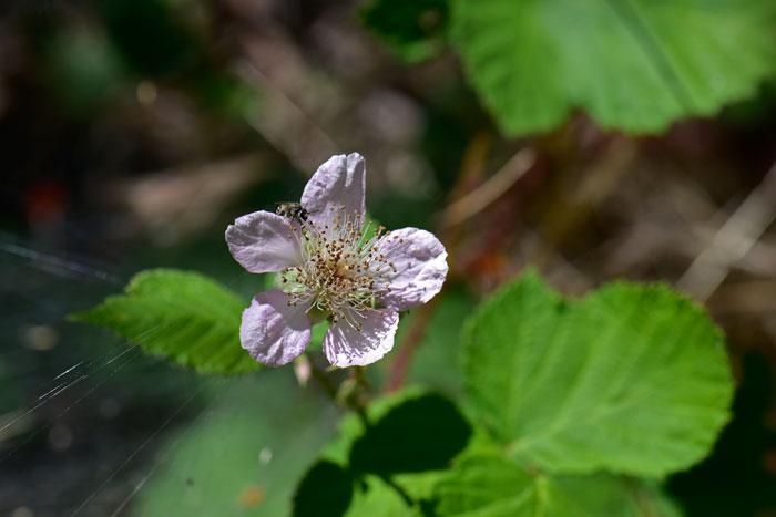 Rubus Leucodermis Whitebark Raspberry Southwest Desert Flora